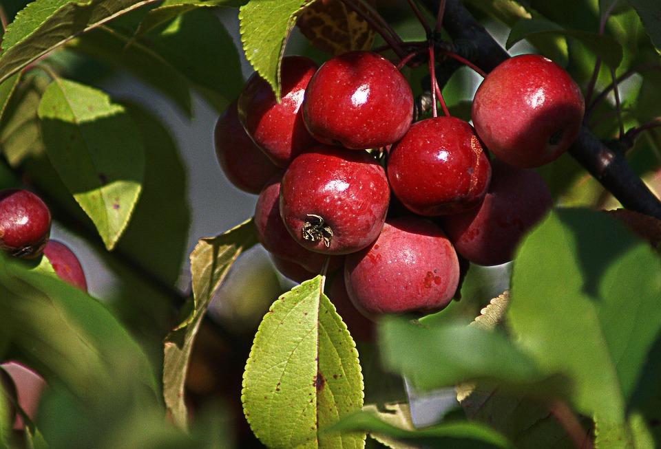 Ornamental Apple, Small Apples, Fruit, Nature