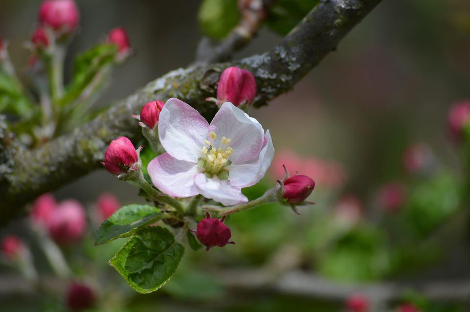 Ornamental Cherry, Blossom, Bloom, Nature, Tree, Branch