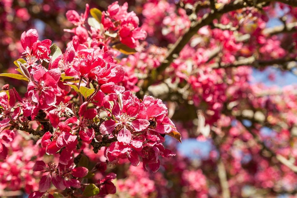 Ornamental Cherry, Red, Blossom, Bloom, Branch, Spring