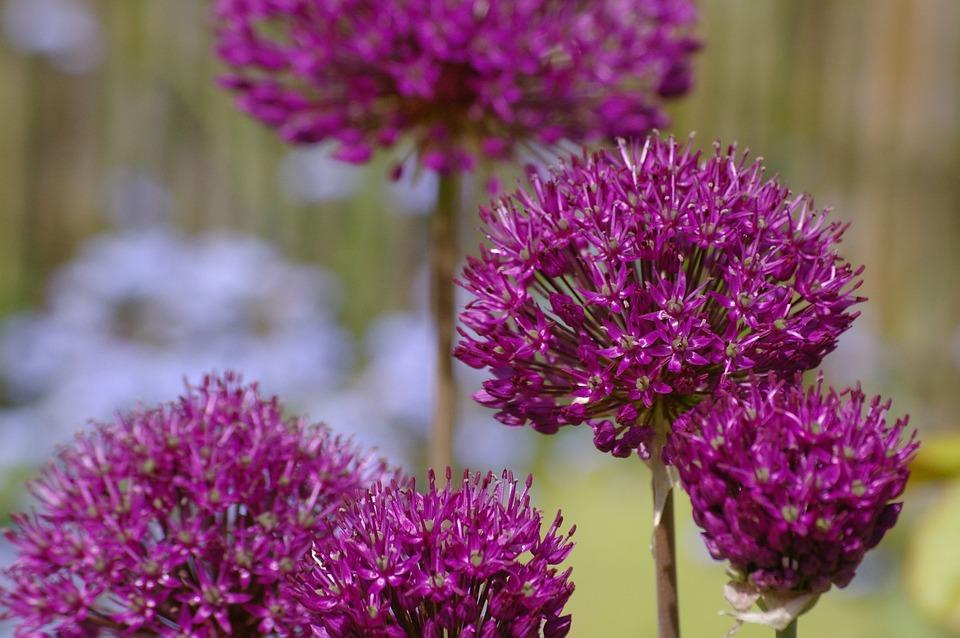 Ornamental Onion, Leek, Blossom, Bloom, Leek Flower