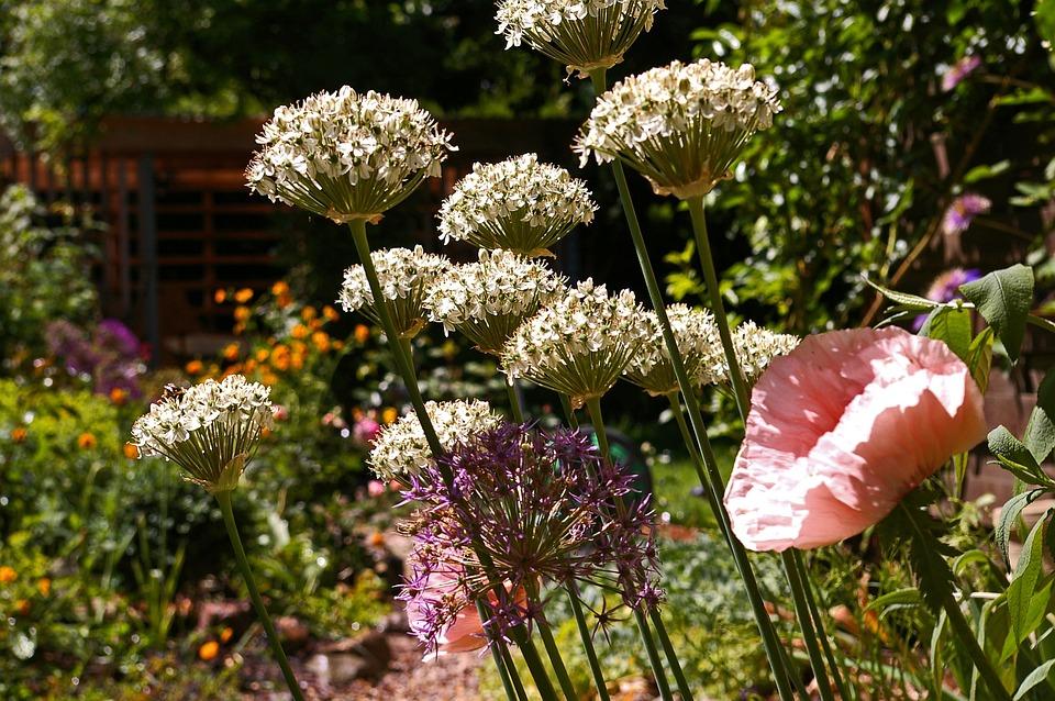 Ornamental Onion, White Zierlauch, Flower, Garden