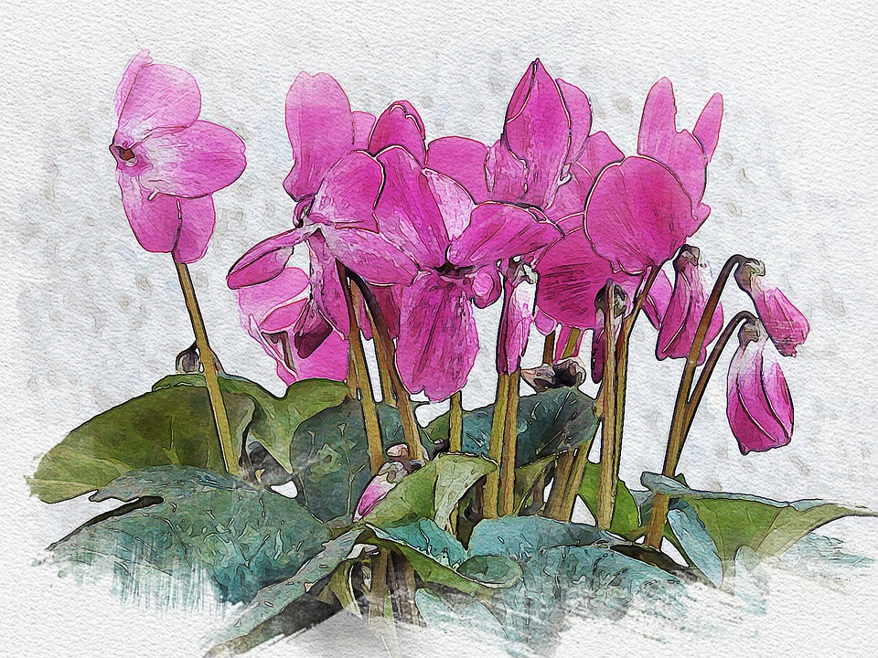 Cyclamen, Flowers, Ornamental Plant, Purple Flowers