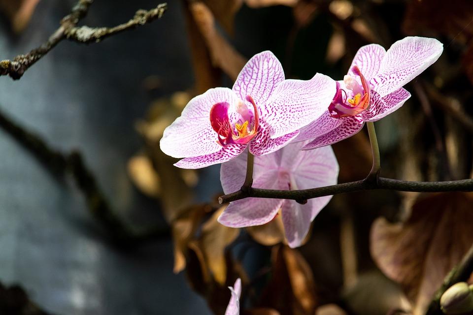 Orchid, Flower, Plant, Ornamental Plant, Flora, Flowers