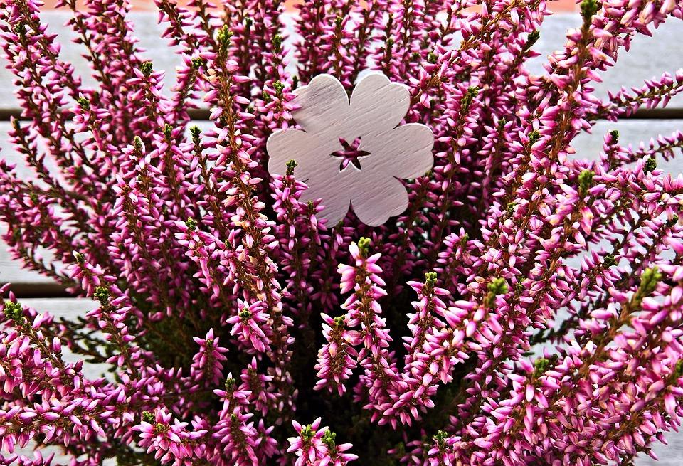 Plant, Heather, Erika, Potted Plant, Ornamental Plant