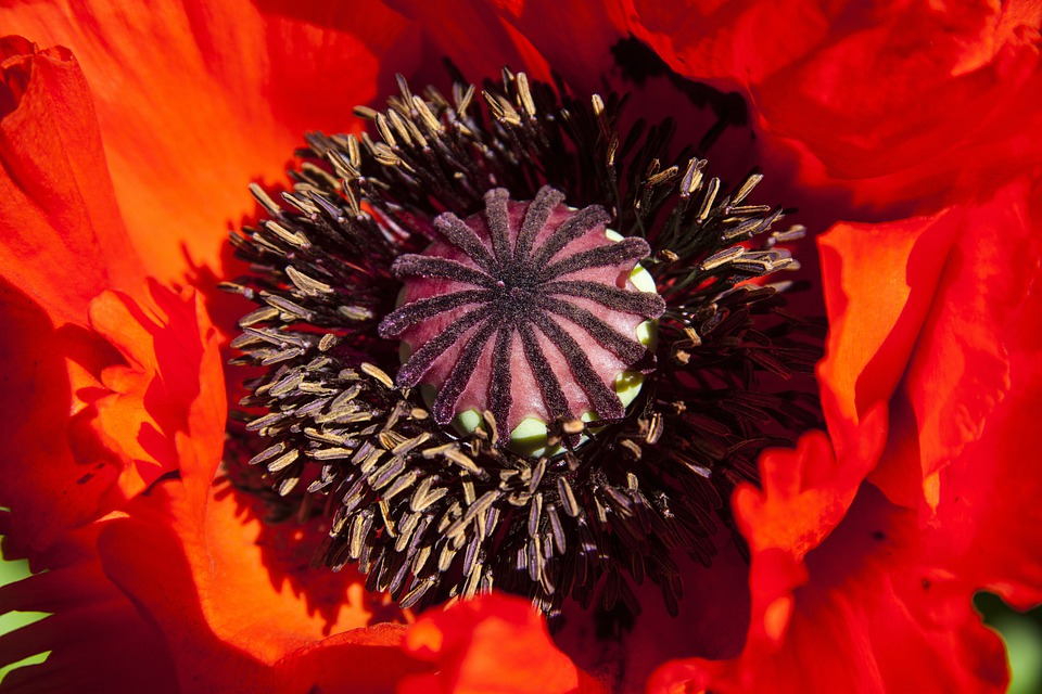 Ornamental Poppies, Half Rosette Plant, Flower, Nature