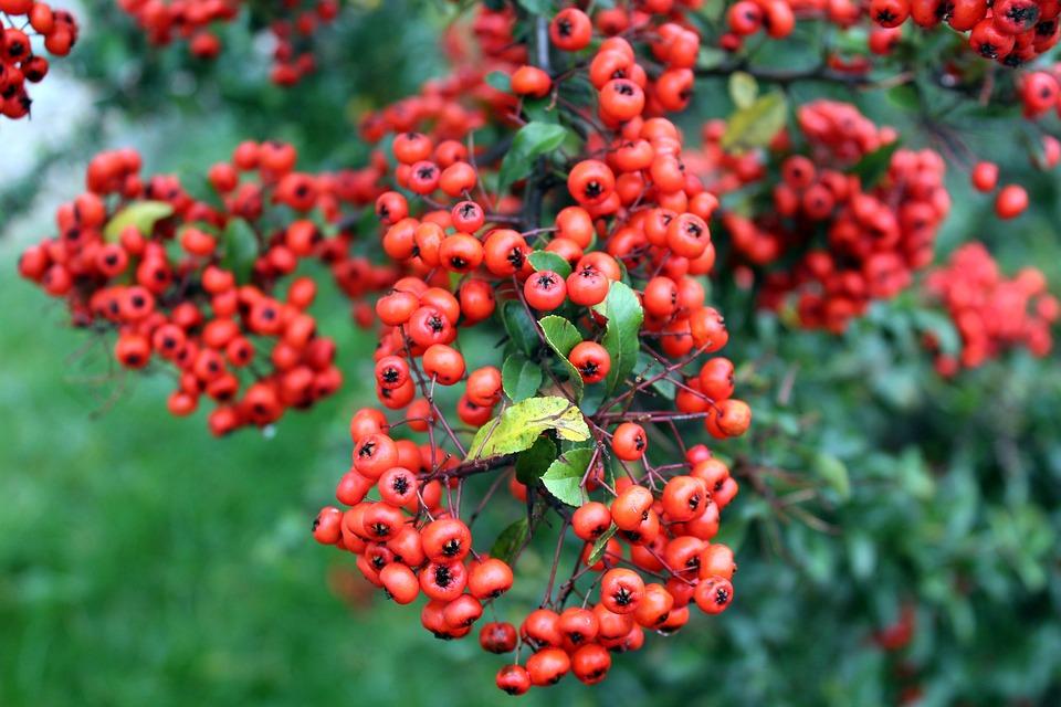 Light, Bush, Red Fruits, Beads, Ornamental Shrub