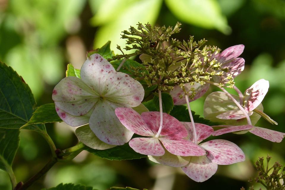 Plate Hydrangea, Hydrangea, Ornamental Shrub, Blossom