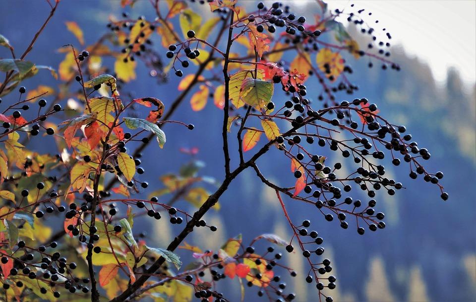 Ornamental Shrub, Autumn, Growth, Shrubs, Plant, Nature