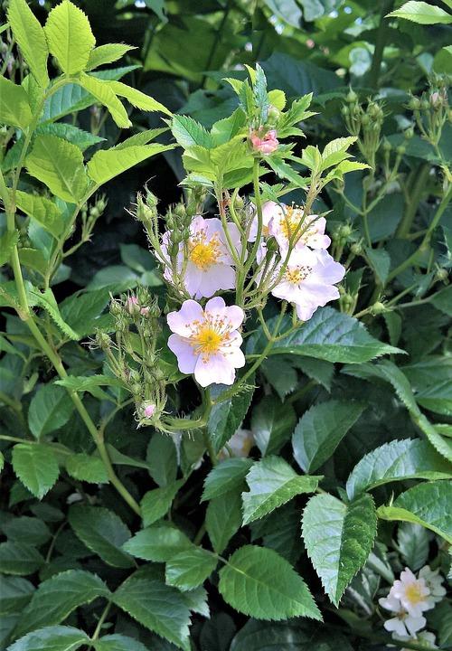 Plant, Ornamental Shrub, White Flowers