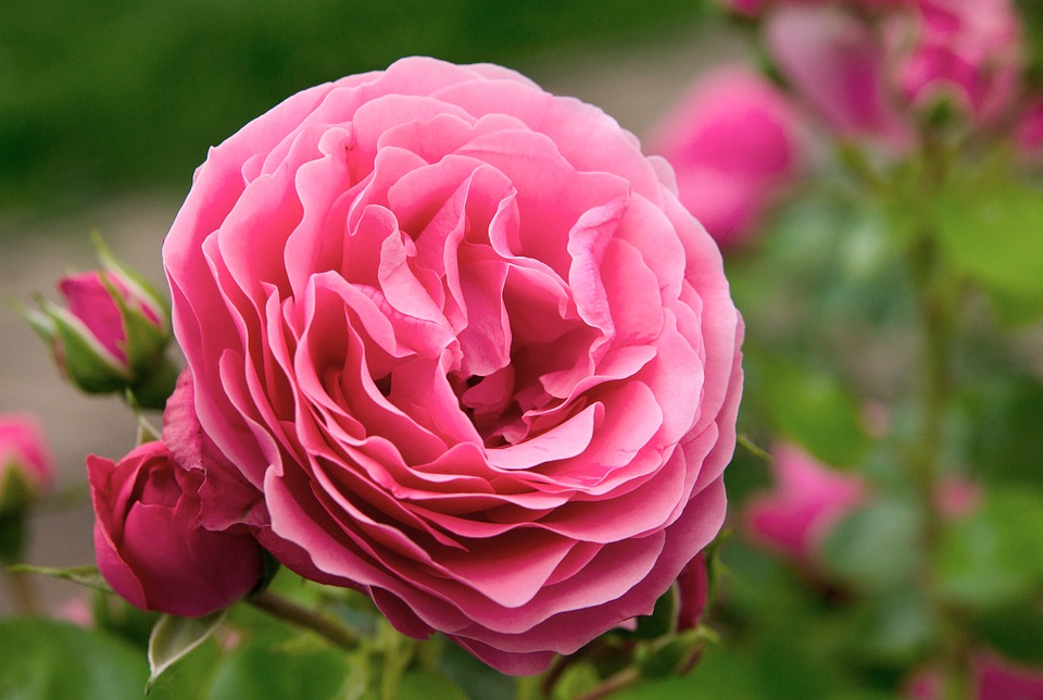 Rose, Flowers, Rosebush, Ornamental Shrub, English Rose