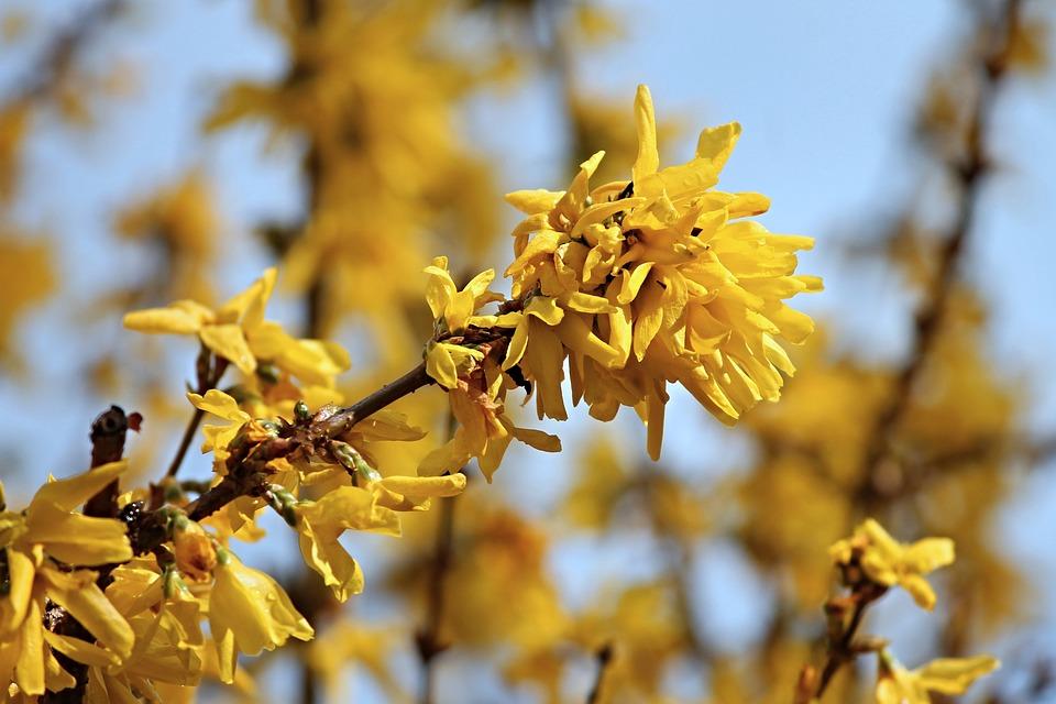 Forsythia, Ornamental Shrub, Bloom, Yellow, Spring