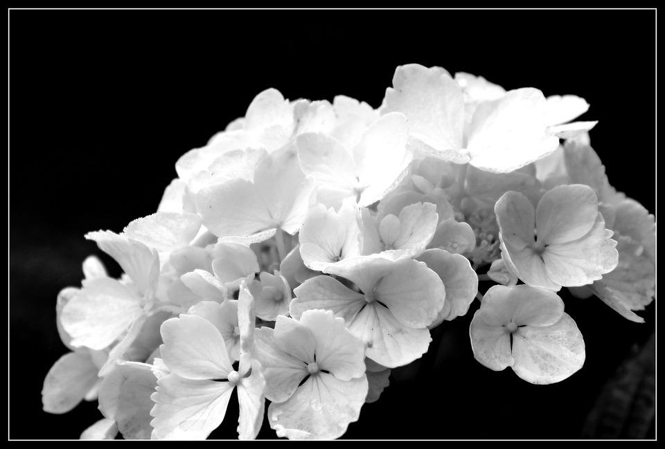 Hydrangea, Flower, Flowers, Ornamental Shrubs, Garden