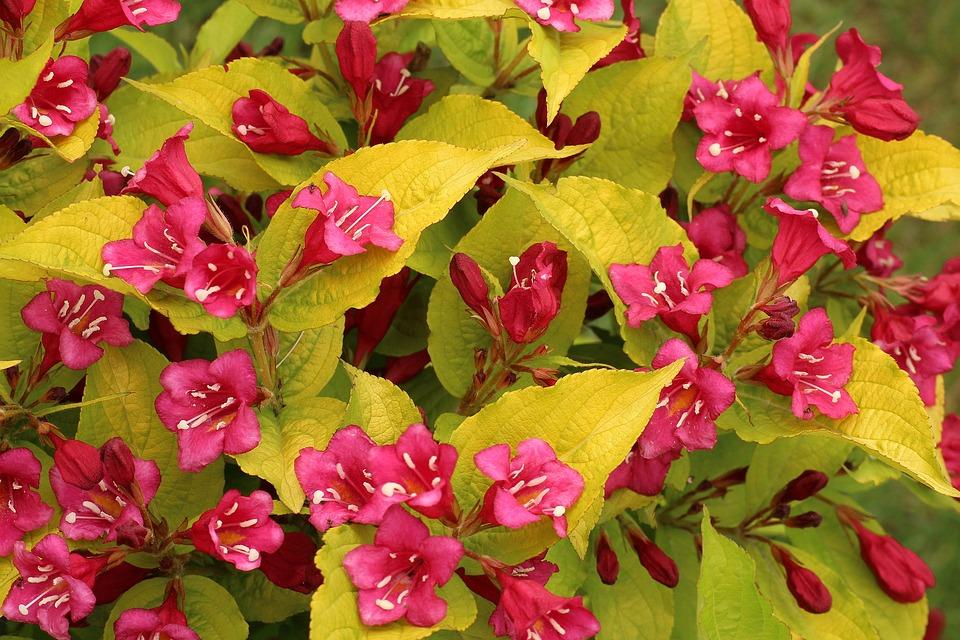 Krzewuszka Beautiful, Ornamental Shrubs, Flowering