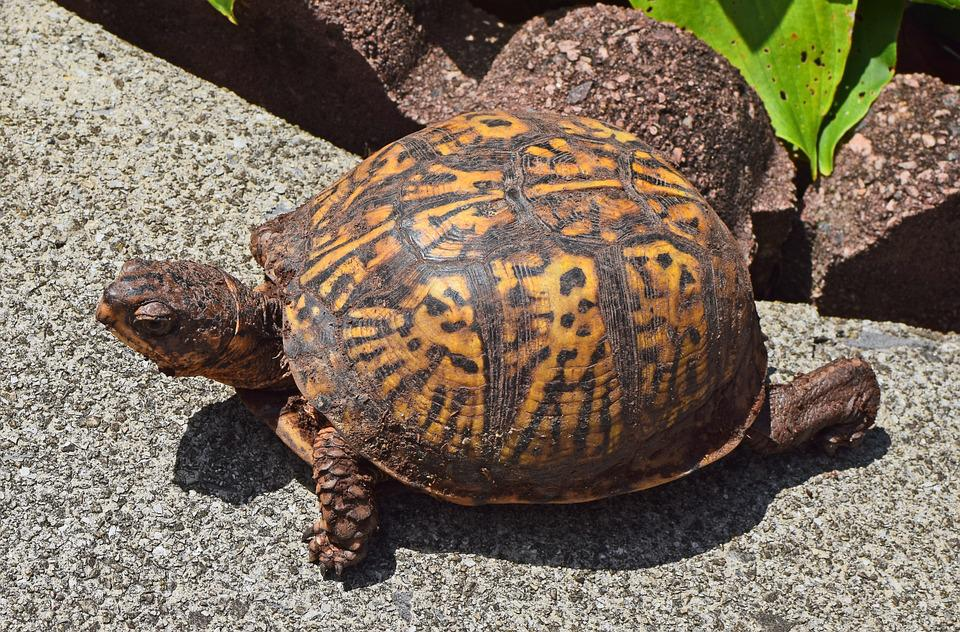 Ornate Box Turtle On Patio, Female, Dirt Covered