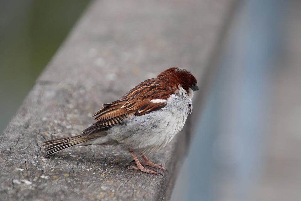 Moineau Friquet, Birds, Sparrows, Ornithology, Animals