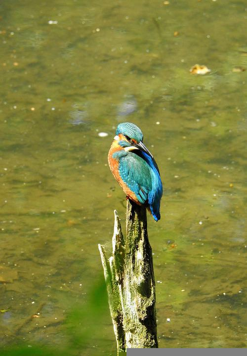 Bird, Kingfisher, Ornithology, Species, Animal, Avian