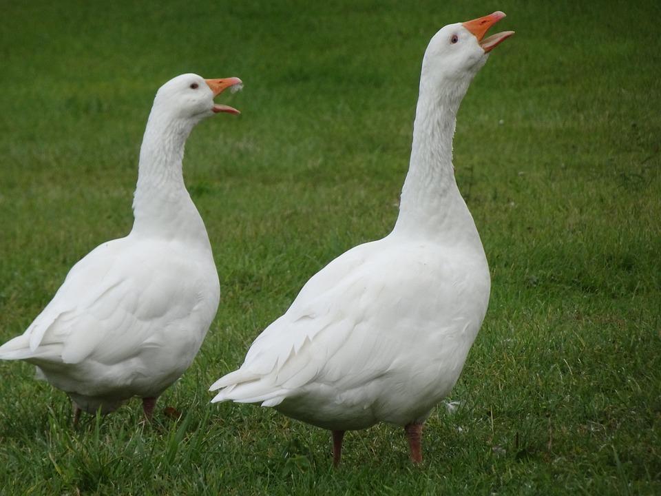 Geese, Birds, White Color, Ornithology, Farm Animals