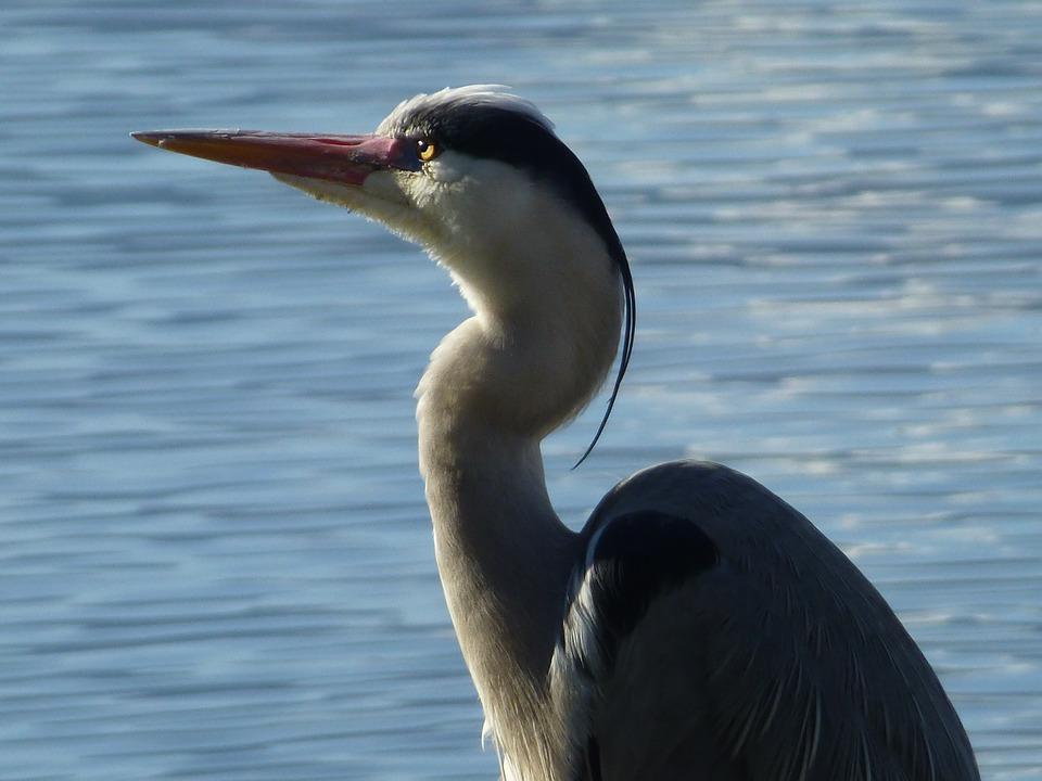 Heron, Nature, Ornithology