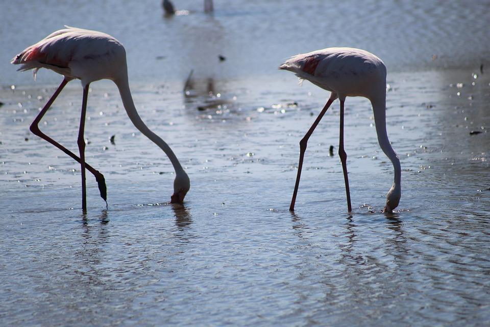 Camargue, Pink Flamingo, Ornithology