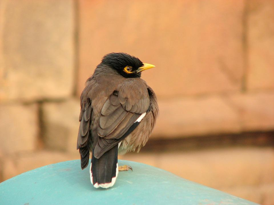 Mynah, Bird, Ornithology, Starling, Asia