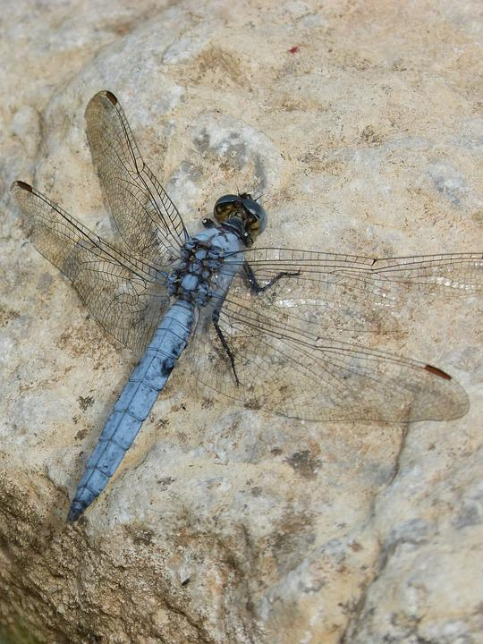 Dragonfly, Orthetrum Brunneum, Blue Dragonfly