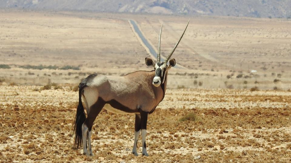 Oryx, Animal, Wilderness, Africa, Safari, Horns, Mammal