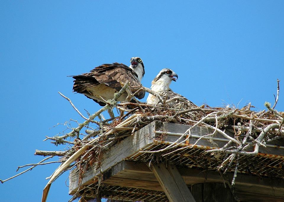Ospreys, Hawks, Birds, Nest, Young, Birds Of Prey