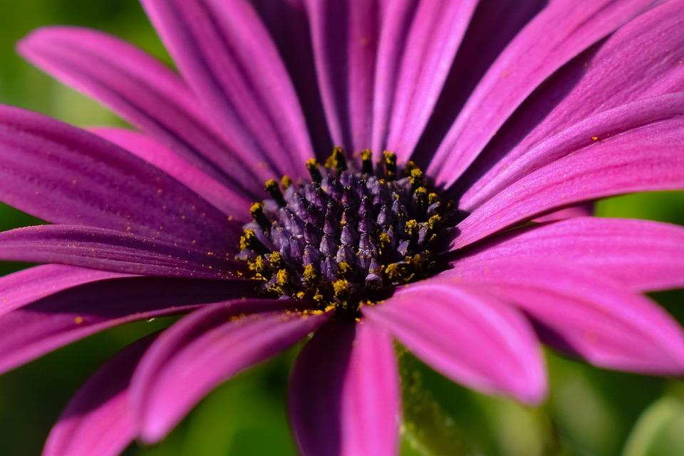 Flower, African Daisy, Osteospermum, Purple, Stamens