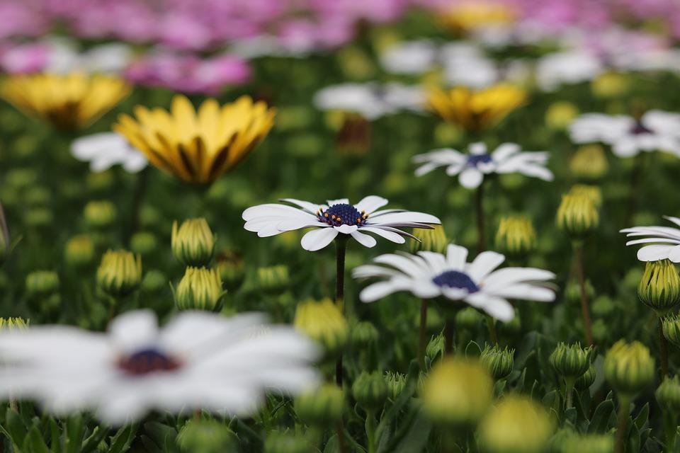 Flowers, Osteospermum, Spring, Plant, Letnička, Plants