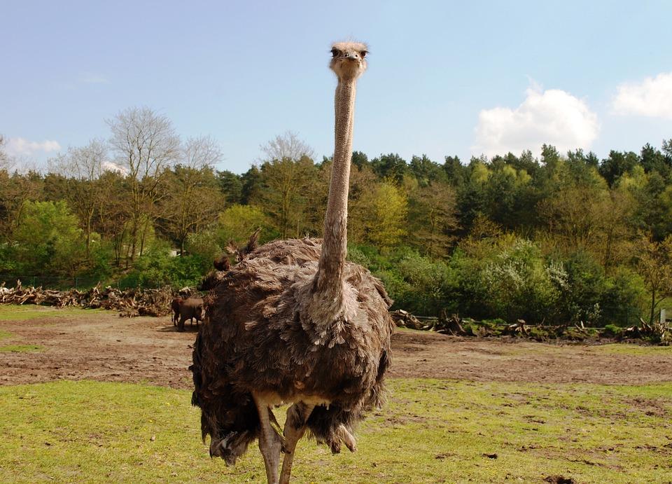 Ostrich, Zoo, Bird, Wings, Feather, Wildlife, Beak