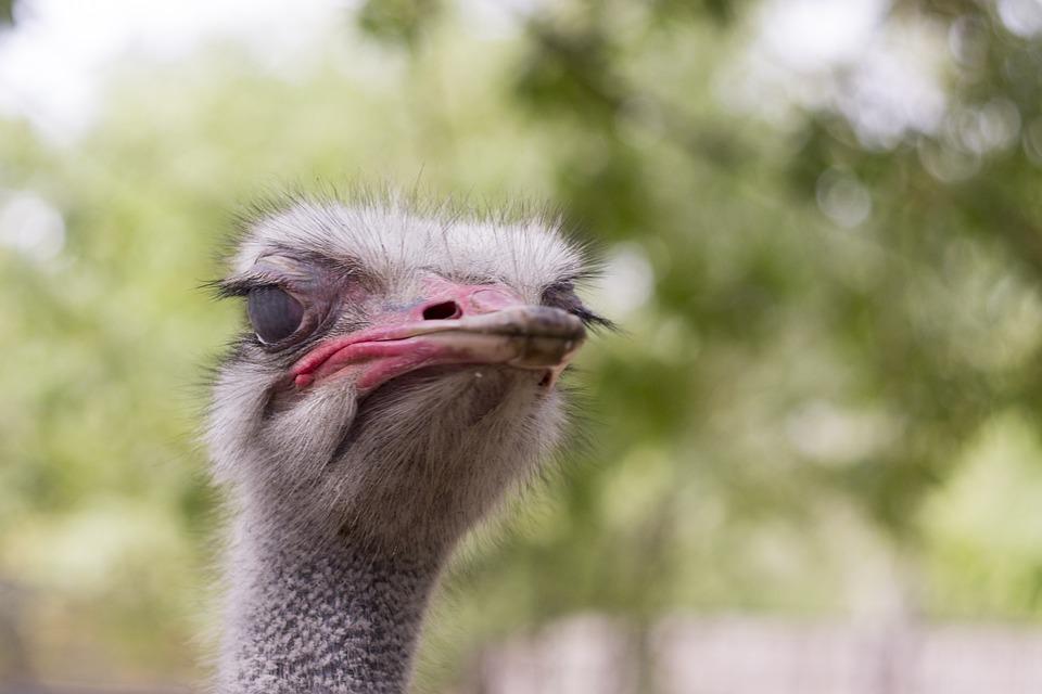 Ostrich, Head, Animals, Zoo, African Ostrich
