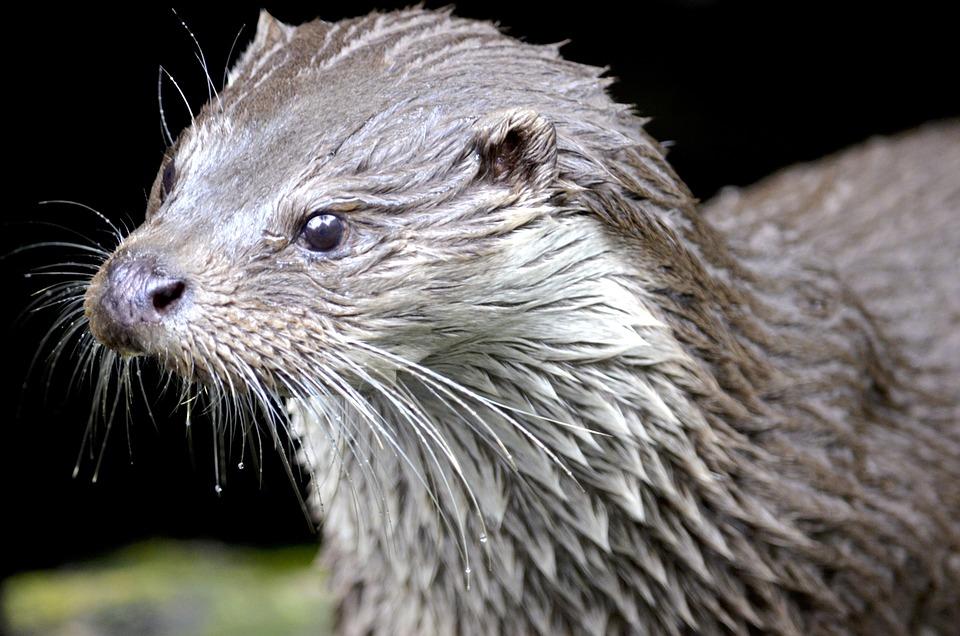 Otter, Marten, Water, Wild Animal, Nature, Wet, Close