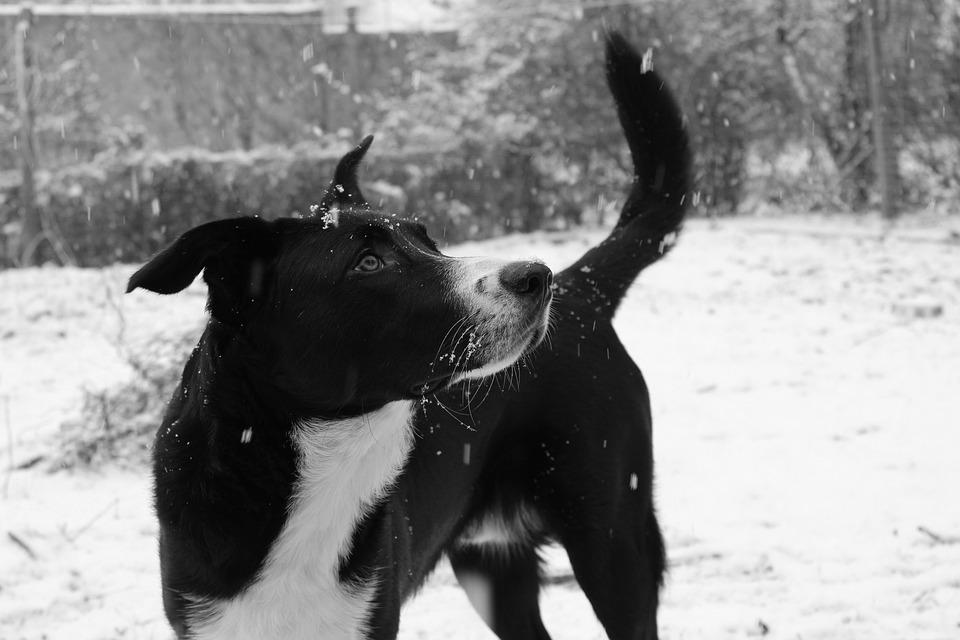 Dog, Winter, Snow, Animal, Black White, Out