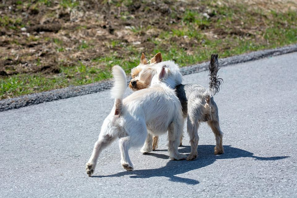 Dogs, Out, Encounter, Small Dogs, Away, Road