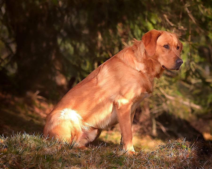 Labrador, Dog, Animal, Pet, Out, Nature, Painting