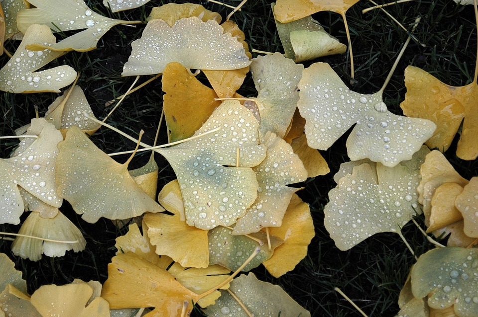 Nature, Outdoor, Ginkgo, Leaves, Out