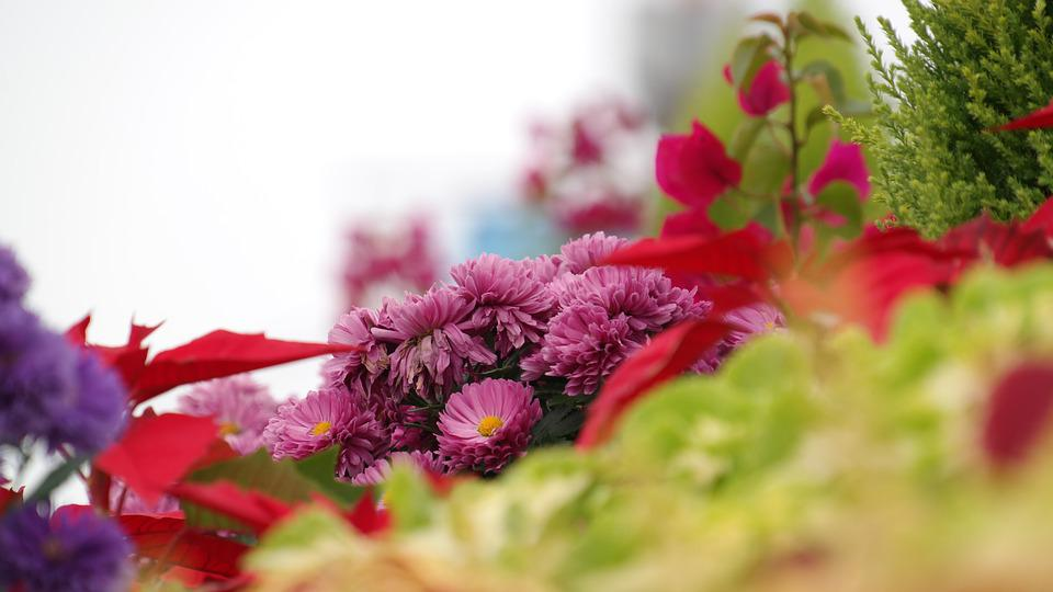 Chrysanthemum Flower, Out Of Focus, Wolmido