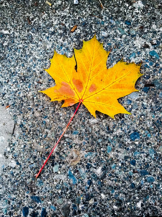 Yellow Maple Leaf, Autumn, Autumn Collection, Outdoor