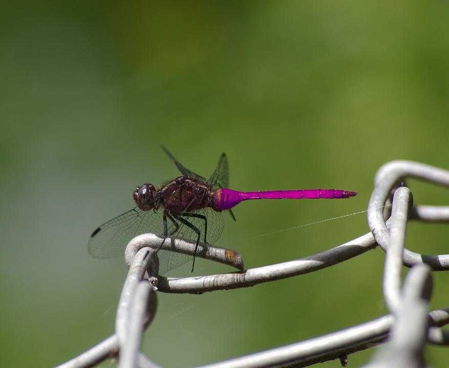 Dragonfly, Insect, Nature, Wildlife, Closeup, Outdoor