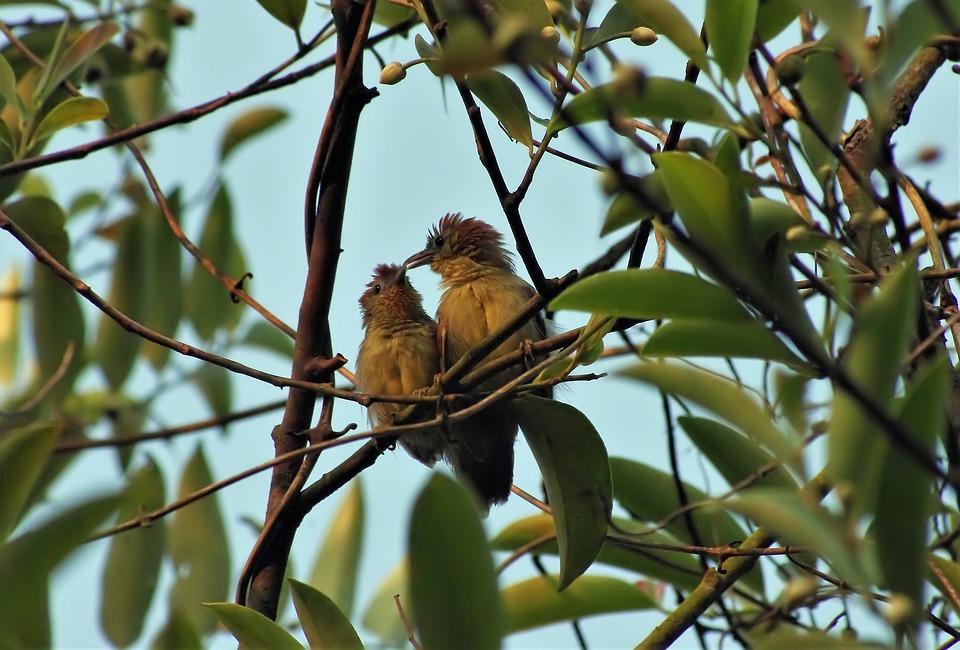 Yellow-billed Bulbul, Outdoor, Perch, Natural, Wild
