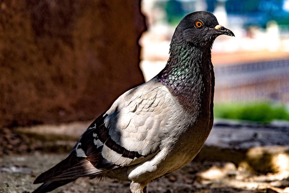 Pigeon, Dove, Bird, Animal, Nature, Outdoor, Rome