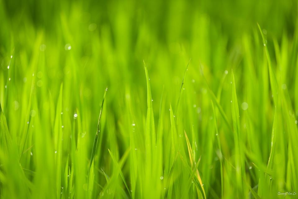 Closeup, Nature, Vietnam, Outdoor, Green, Rice