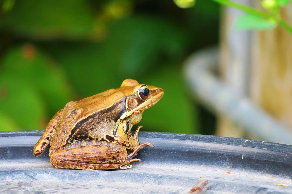 Frog, Amphibians, Wildlife, Nature, Outdoor, Animal