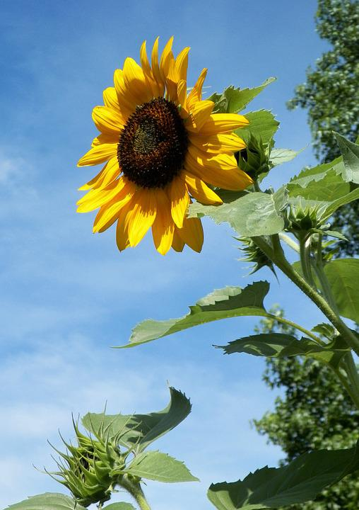 Sunflower, Flower, Outdoor, Nature, Yellow, Floral