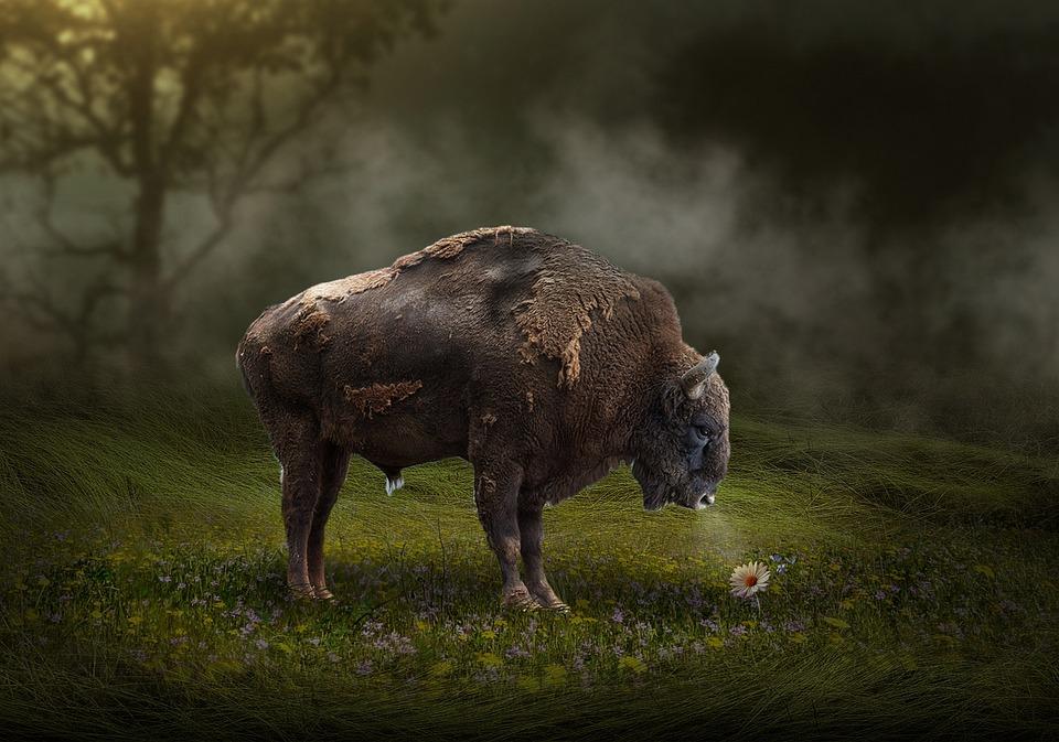 American Bison, Mammal, Grass, Outdoors, Wildlife