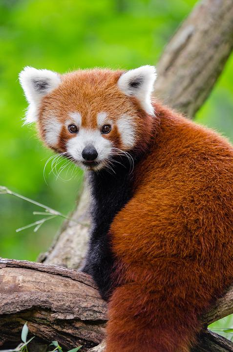 Adorable, Red Panda, Animal, Cute, Furry, Outdoors