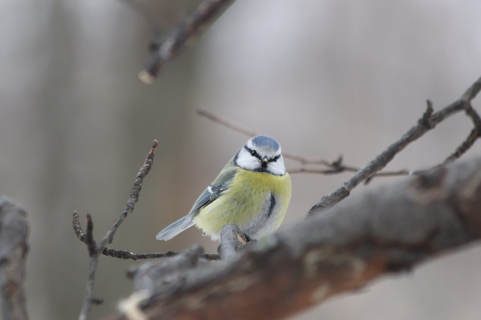 Bird, Living Nature, Nature, Animals, Outdoors, Tit
