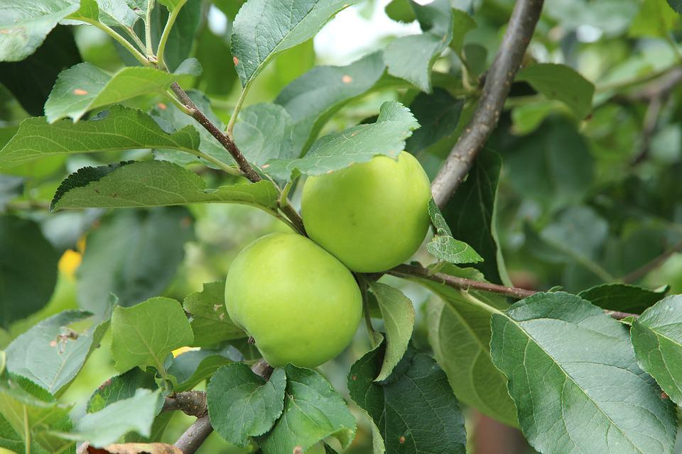 Apples, Branch, Fruit, Nature, Sheet, Food, Outdoors