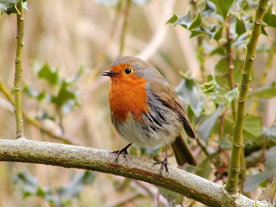 Robin, Bird, Wildlife, Wild, Songbird, Nature, Outdoors