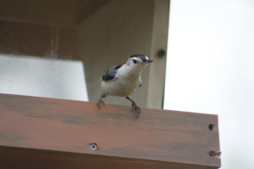 Bird, Wildlife, Outdoors, Nuthatch